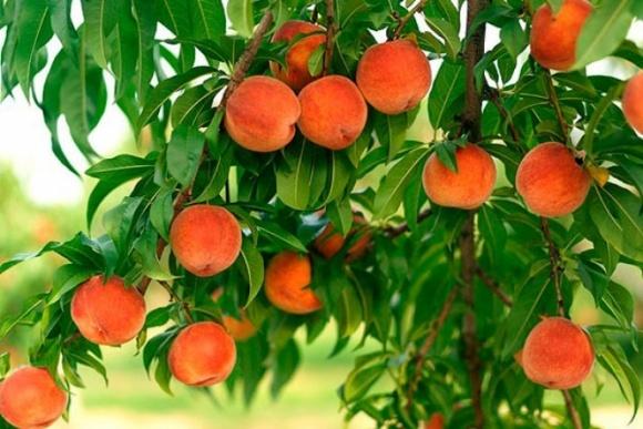 Украинские садоводы вынуждены снижать цены на персики из-за избытка продукции фото, иллюстрация