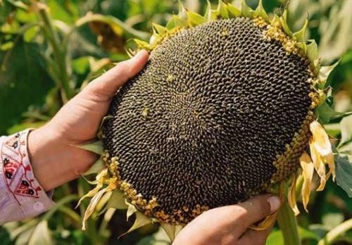 Высокий урожай подсолнечника прогнозируется на Черкасщине фото, иллюстрация