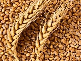 Опубліковано проект нового державного стандарту на пшеницю фото, ілюстрація