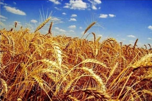 ГПЗКУ заключает договоры по закупке зерна урожая-2018 фото, иллюстрация