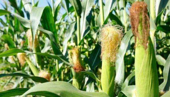 В Україні очікують рекордний урожай кукурудзи — Мінагро фото, ілюстрація