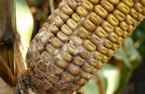 На украинский рынок не допущено 41.5 тонн зараженной кукурузы фото, иллюстрация
