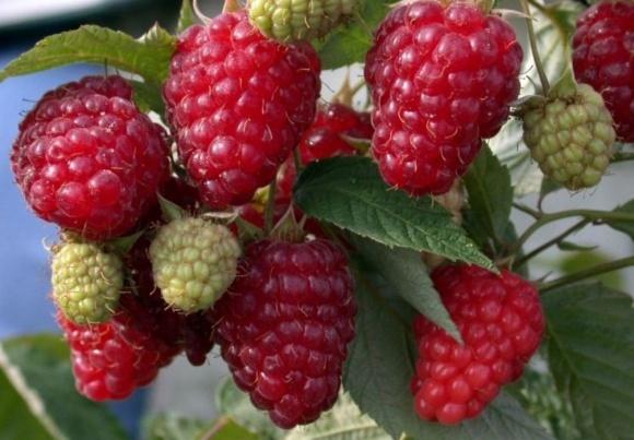 В Украине завершается сезон реализации малины летних сортов фото, иллюстрация