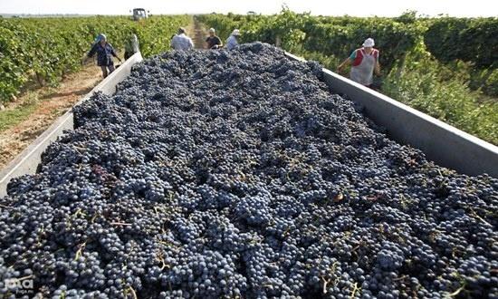 В Коблево побили собственный рекорд по сбору винограда фото, иллюстрация
