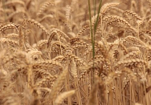 10 июня вступает в силу новый стандарт на пшеницу фото, иллюстрация