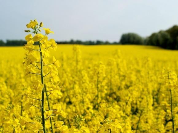 Українські аграрії зібрали перший урожай ріпаку фото, ілюстрація