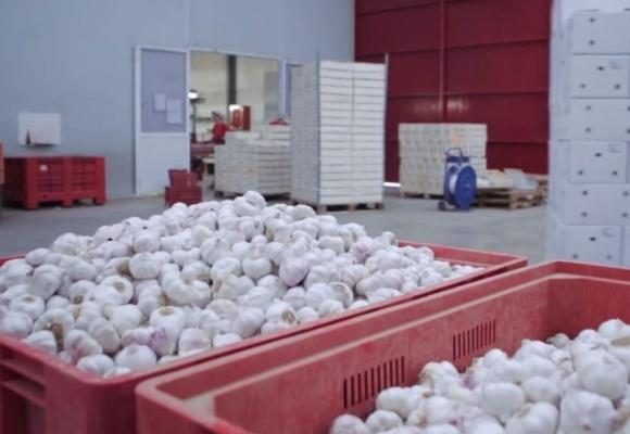 Украина ожидает рекордный урожай чеснока фото, иллюстрация