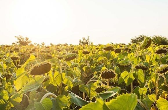 Зарубіжний досвід. Соняшник допоможе перейти на органічне землеробство фото, ілюстрація