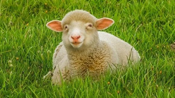 Фермер застрелив овець, які зайшли в його сад фото, ілюстрація