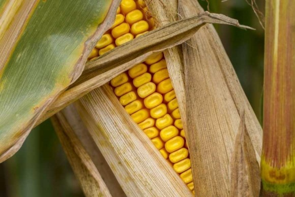 ЕС может снизить импортные пошлины на кукурузу и сорго фото, иллюстрация