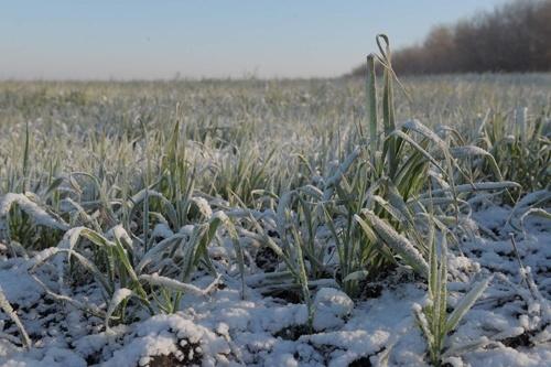 86% посевов озимых зерновых культур находятся в хорошем состоянии, - Минагрополитики фото, иллюстрация