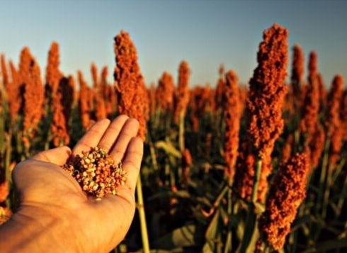Украинские аграрии прогнозируют рост площадей под сорго фото, иллюстрация