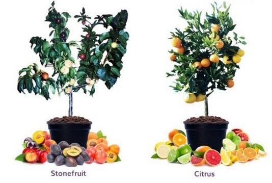 В Австралии зарабатывают на продаже саженцев с шестью видами фруктов фото, иллюстрация