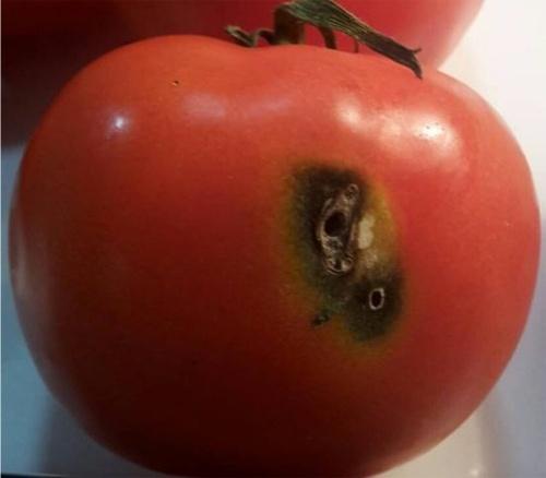 У вантажі з турецькими томатами виявили південноамериканську томатну міль фото, ілюстрація