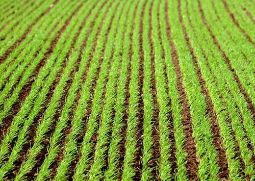 Стан посівів сільськогосподарських культур гарний та задовільний фото, ілюстрація