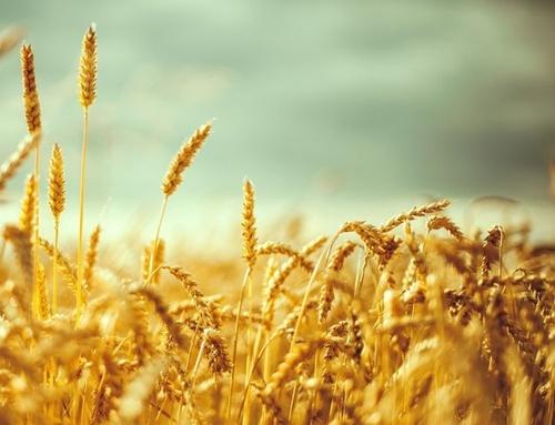 ЕБА просит ввести новый ГОСТ на пшеницу в июне фото, иллюстрация