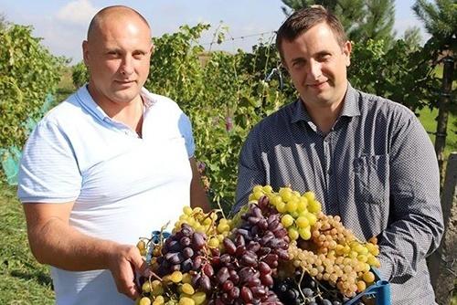 У Львівській області фермери вирощують понад 60 сортів винограду фото, ілюстрація