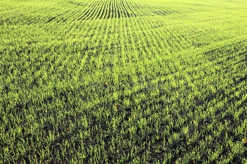 В Украине будет невысокий урожай озимой пшеницы и кукурузы, – эксперт фото, иллюстрация