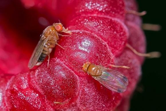 В Канаде создали специальный веб-сайт для подсчета мухи Сузуки фото, иллюстрация