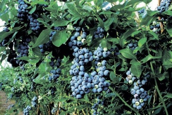 Голубика в прошлом году вышла на 1-е место в экспорте свежей ягоды фото, иллюстрация