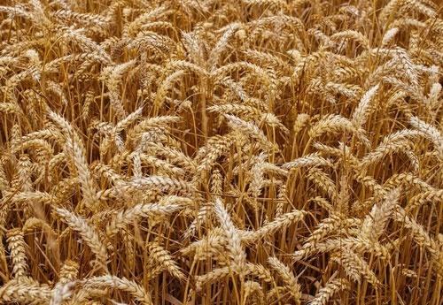 Ціни на український врожай 2019 року залишаються стабільними фото, ілюстрація