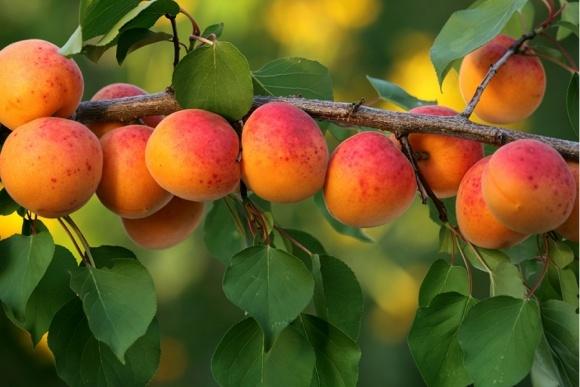 Во Франции вымерзло до 85% урожая абрикосов фото, иллюстрация