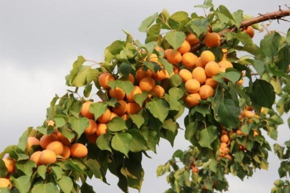 В Украине стартовал сезон абрикосов: сколько стоят первые фрукты  фото, иллюстрация