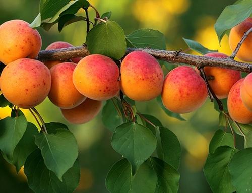 Ціни на абрикос в Україні за тиждень впали на 21% фото, ілюстрація