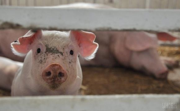 АЧС заставит производителей максимально усилить биобезопасность, — АСУ фото, иллюстрация