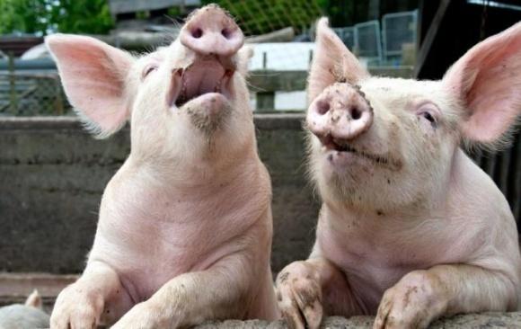 На Полтавщині сільські голови приховують захворювання свиней фото, ілюстрація