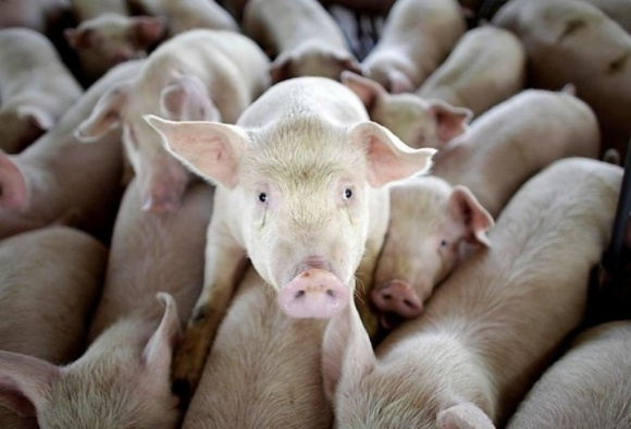 Фермерам Донеччини компенсують загибель свиней від АЧС фото, ілюстрація