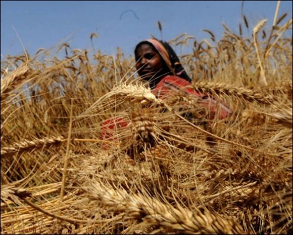 В Азии и Африке будут выращивать тепло- и засухоустойчивую пшеницу фото, иллюстрация