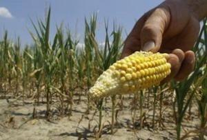 Почему Китай отказался от украинской кукурузы? фото, иллюстрация