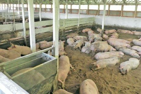 Предприниматель на Киевщине по-новому выращивает свиней фото, иллюстрация