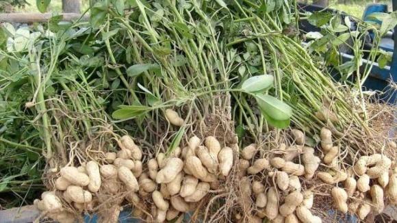 В Україні набирає популярності вирощування арахісу фото, ілюстрація