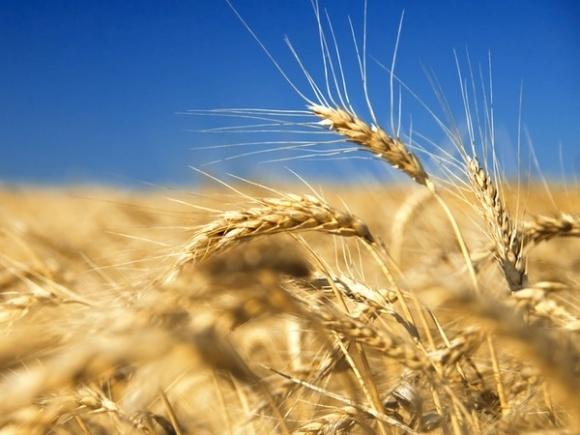 Рост потребления зерновых в мире происходит за счет животноводства фото, иллюстрация