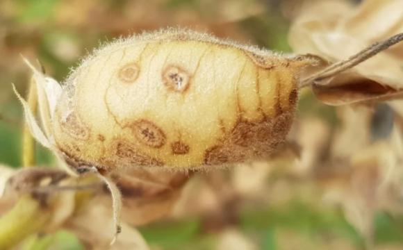 В Канаде от аскохитоза погибло 30% урожая нута фото, иллюстрация