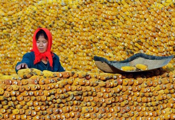 """Китайский экспорт кукурузы: впервые за 10 лет таможня """"даёт добро"""" фото, иллюстрация"""