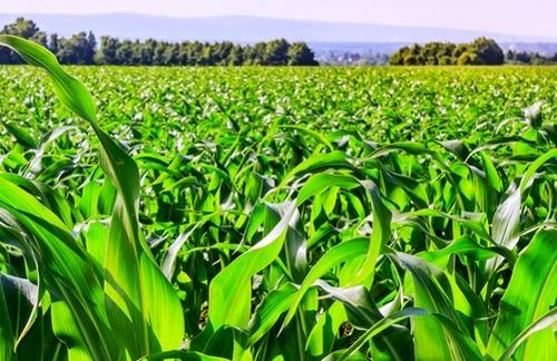 Полтавщина - лідер за посівними площам кукурудзи фото, ілюстрація