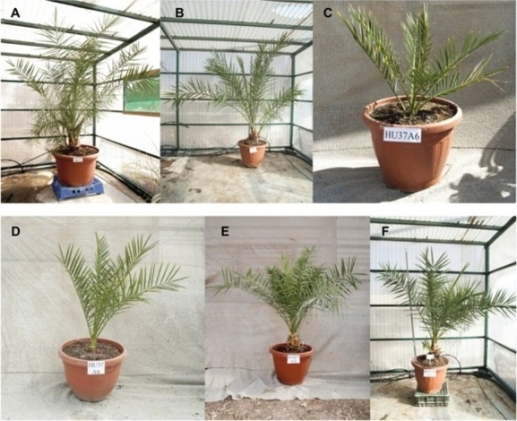 В Израиле вырастили пальмы из семян, которым больше двух тысяч лет, и дали им библейские имена фото, иллюстрация
