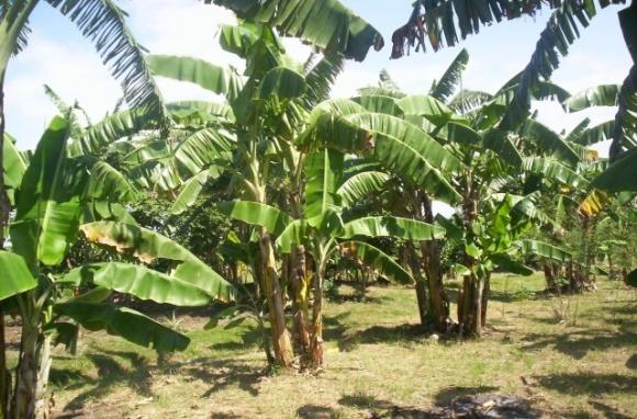 В Бессарабии бананы могут вытеснить виноградники фото, иллюстрация