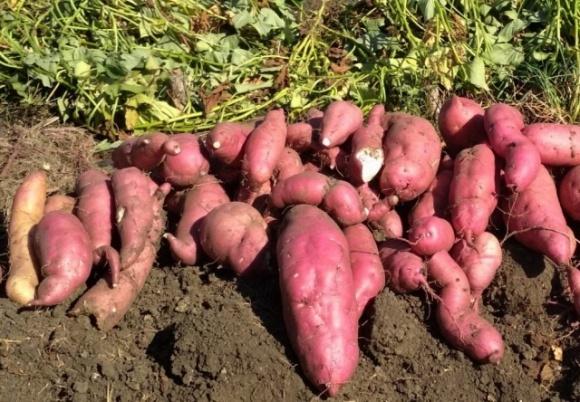 Перспектива вирощування батату в Україні фото, ілюстрація