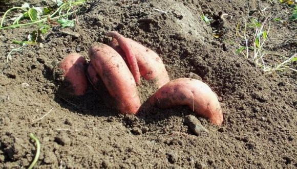 Лучшую урожайность батата в Украине показал сорт Винницкий розовый фото, иллюстрация