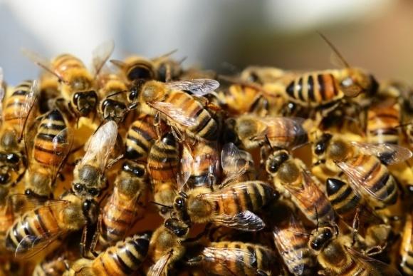 Проблема загибелі бджіл від неонікотиноїдів надумана, — експерт фото, ілюстрація