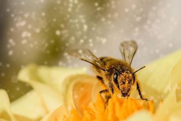 Запилення дикими бджолами підвищує урожайність люцерни в 6 разів фото, ілюстрація