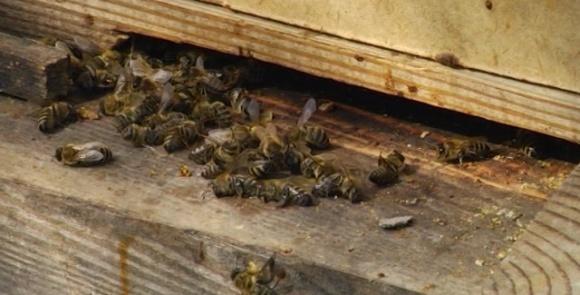 На Рівненщині масово загинули бджоли фото, ілюстрація