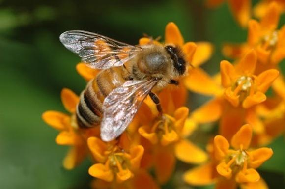 У Парламенті зареєстрували законопроєкт про кримінальну відповідальність за знищення бджіл фото, ілюстрація