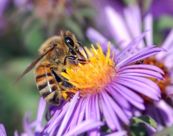 Інколи неонікотиноїди можуть приносити користь бджолам, — Американське хімічне товариство фото, ілюстрація