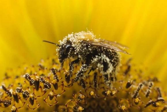 Франция запретила 2 пестицида из-за вредоносности для пчел фото, иллюстрация