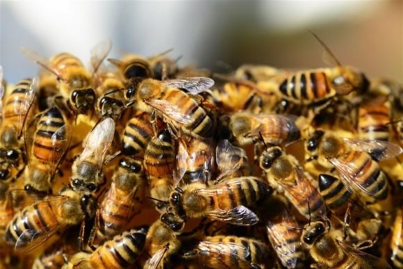 Африканські бджоли розмножуються без самців фото, ілюстрація